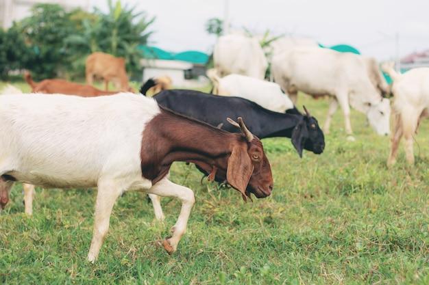 Les chèvres mangent sur le terrain.