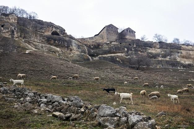 Chèvres et moutons paissent sur une pente sous une falaise avec de vieilles maisons