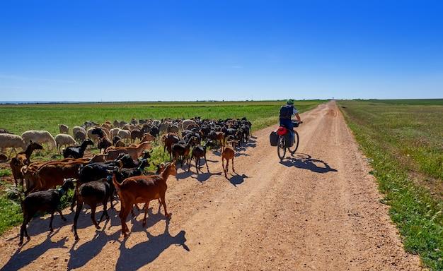 Chèvres et moutons s'assemblent avec le pèlerin en castille la mancha dans saint james chemin de levante