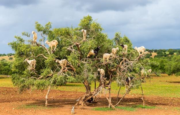 Les chèvres paissent dans un arganier - maroc, afrique du nord