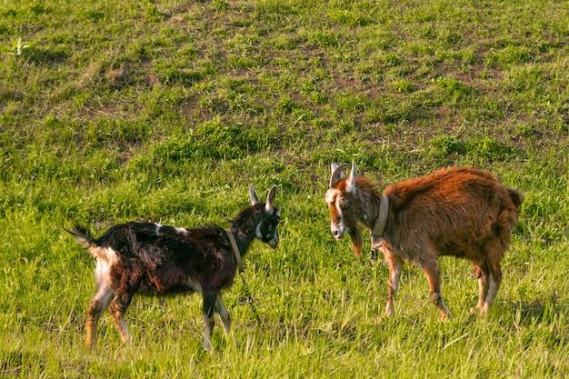 Les chèvres paissent dans le pré, mangent de l'herbe par une journée ensoleillée