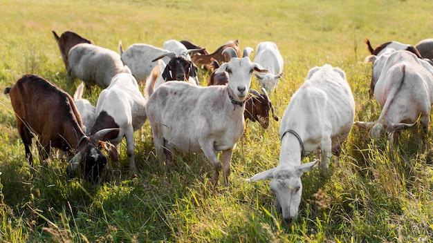 Chèvres sur terre avec de l'herbe