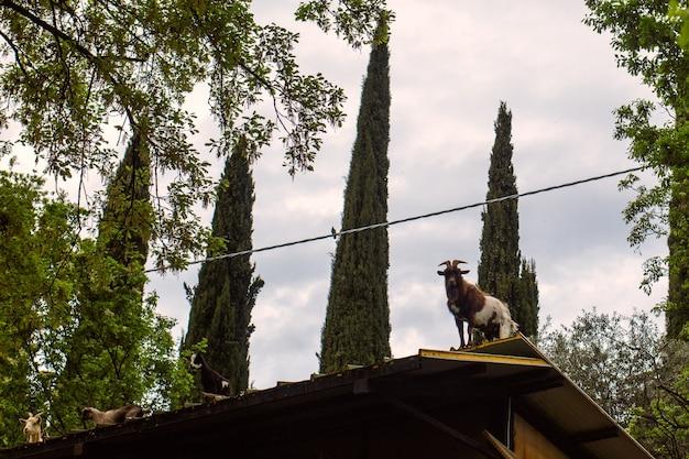 Chèvres sur le toit d'un bâtiment rural à la recherche de nourriture
