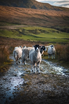 Chèvres sur la vallée nomade dans la province du fars, iran