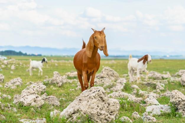 Chèvreschèvres mangeant de l'herbe sur un pâturage dans l'agriculture