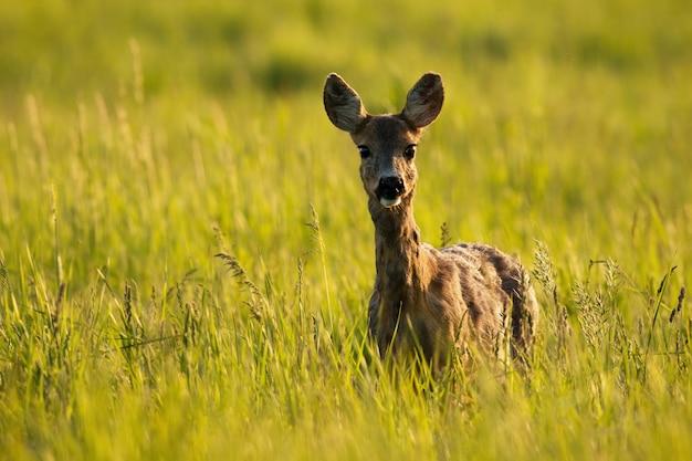 Chevreuil biche debout dans les hautes herbes au lever du soleil.
