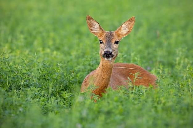 Chevreuil biche se tenant sur le champ de trèfle en été