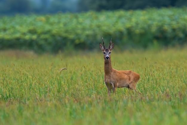 Chevreuil buck debout sur terrain agricole avec copie espace
