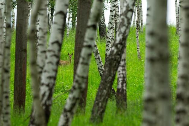 Chevreuil dans la nature magique belle faune européenne animal sauvage dans l'habitat naturel