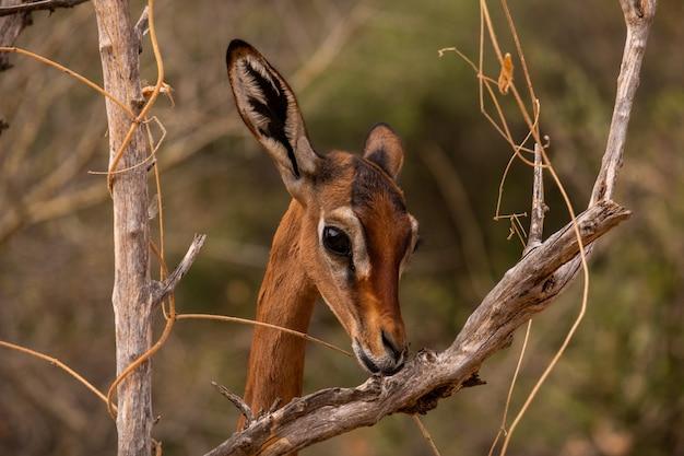 Chevreuil parmi les branches d'arbres capturées au kenya, nairobi, samburu