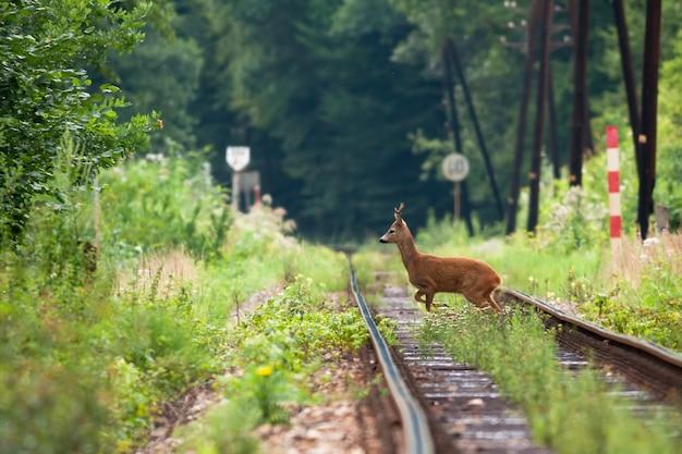 Chevreuil perturbé traversant le chemin de fer herbeux aux beaux jours