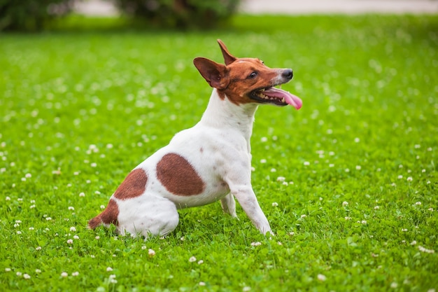 Chien assis sur l'herbe, jack russell terrier