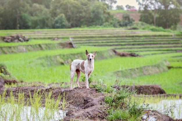 Chien aux rizières en terrasses de l'unesco à batad, aux philippines