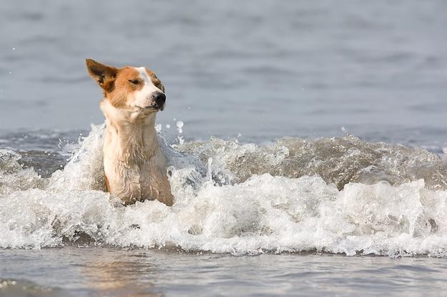 Le chien aux taches rouges baigne dans des vagues d'afflux.