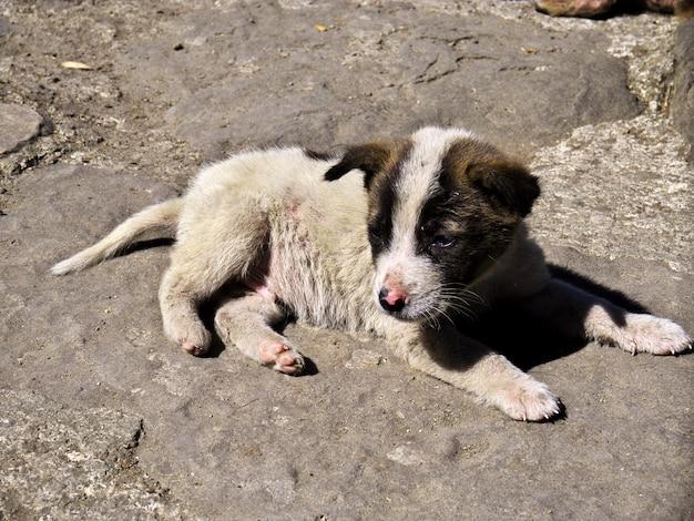 Le chien à bangaan, philippines