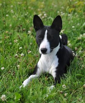 Chien basenji noir couché sur l'herbe verte