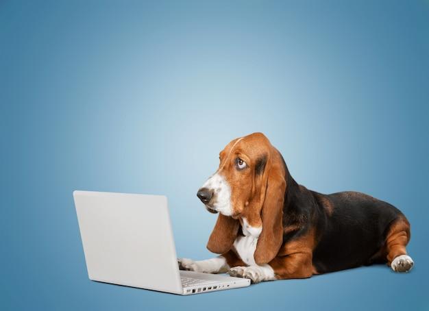 Chien basset hound avec ordinateur portable sur l'arrière-plan