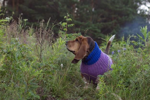 Chien basset hound race en pull lilas à l'extérieur en été dans un parc ou une forêt