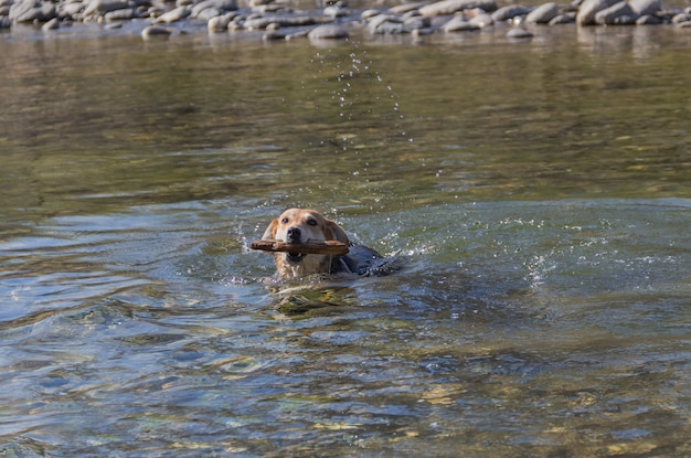 Chien bâtard nageant joyeusement dans le ruisseau avec un bâton dans sa bouche