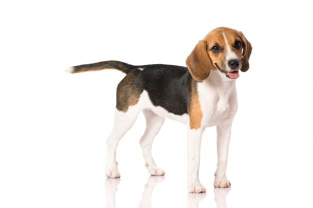 Chien beagle sur blanc