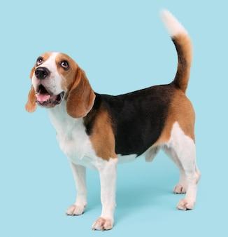Chien beagle sur bleu