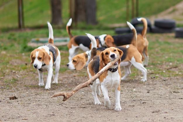 Chien beagle courir avec un gros bâton