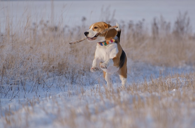 Chien beagle court et joue dans la forêt d'hiver par une journée ensoleillée et glaciale