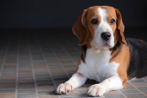 Le chien beagle est assis et regarde avec doute