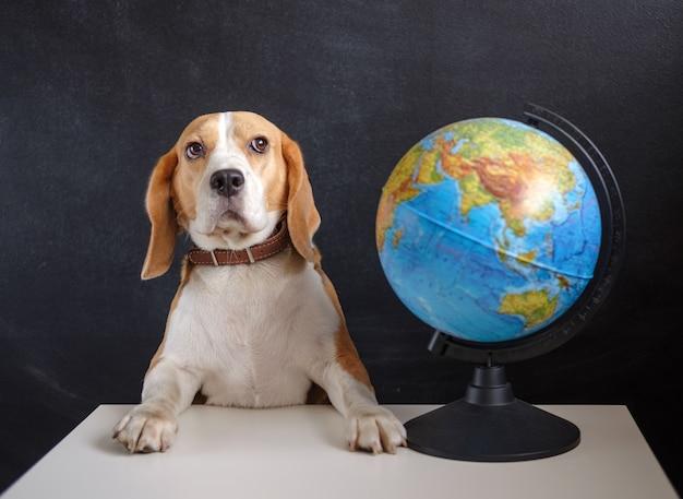 Chien beagle et globe de l'école sur le conseil scolaire noir