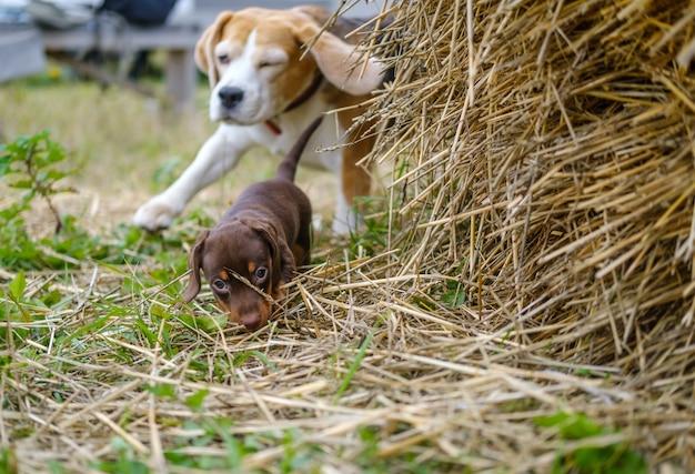 Un chien beagle joue avec un mignon chiot teckel