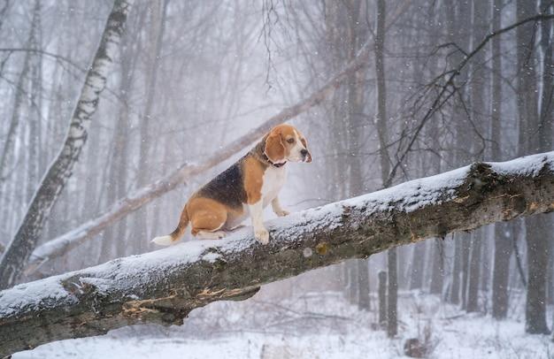 Chien beagle lors d'une promenade dans un parc d'hiver lors d'une chute de neige