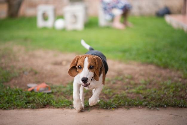 Chien beagle mignon courir dans la maison
