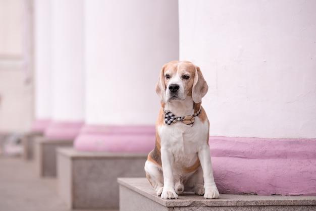 Un chien beagle en noeud papillon se trouve près du théâtre