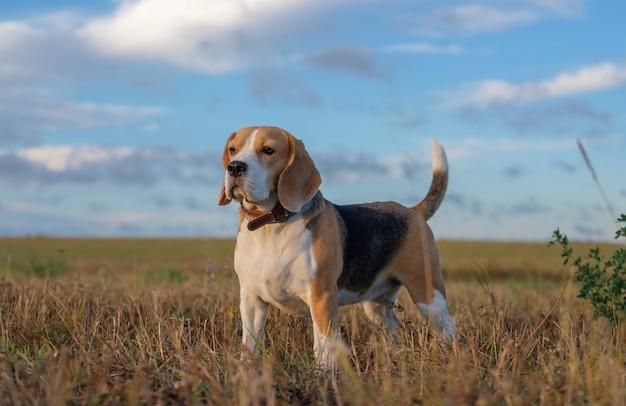 Chien beagle en promenade tôt le matin au lever du soleil contre le ciel et les nuages