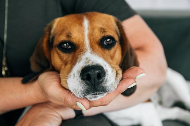 Le chien beagle repose sur les mains d'une femme. le chien a l'air triste. concentrez-vous sur le nez.