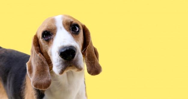 Chien beagle