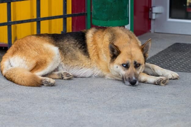 Chien de berger allemand allongé sur le perron d'une maison.