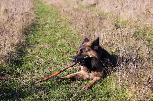 Chien de berger allemand à mâcher sur un bâton