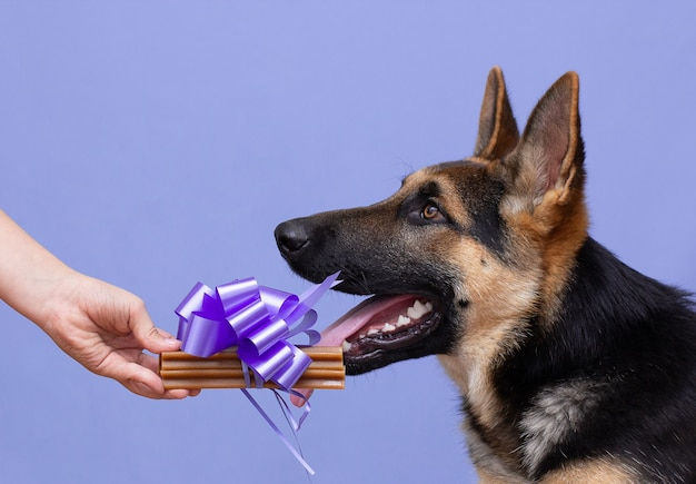Chien de berger allemand une main femelle ou mâle tenant un cadeau cadeau pour le chien sur fond violet
