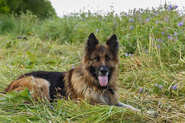 Chien de berger allemand avec sa langue pendante se trouve sur une prairie de fleurs.