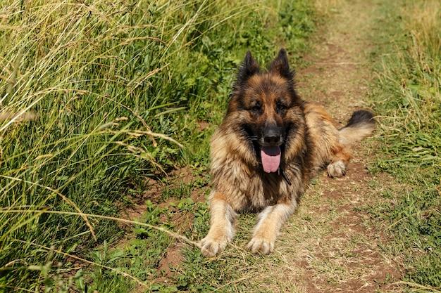 Chien de berger allemand se trouve dans un champ sur la route dans l'herbe verte