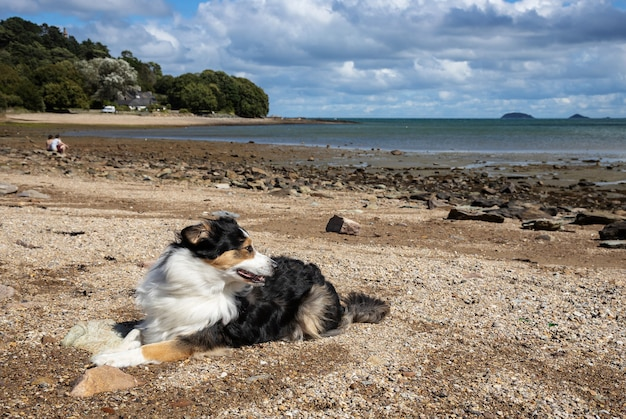 Chien de berger australien allongé sur la plage