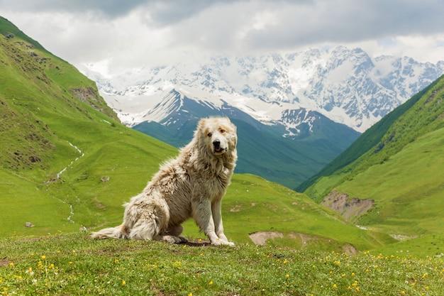 Chien de berger du caucase pour la garde du bétail dans le village d'ushguli. svanétie, géorgie