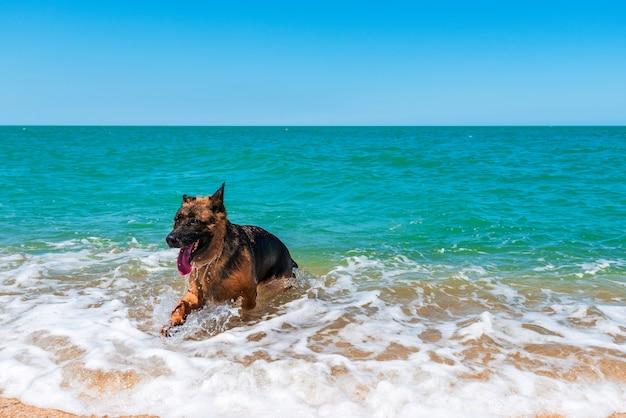 Le chien de berger nage dans la mer