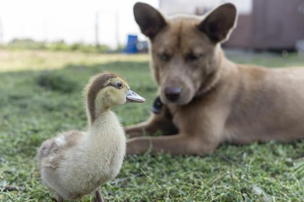 Le chien de berger veille sur le petit caneton pour qu'il ne s'enfuie pas à la ferme vétérinaire de la zone rurale