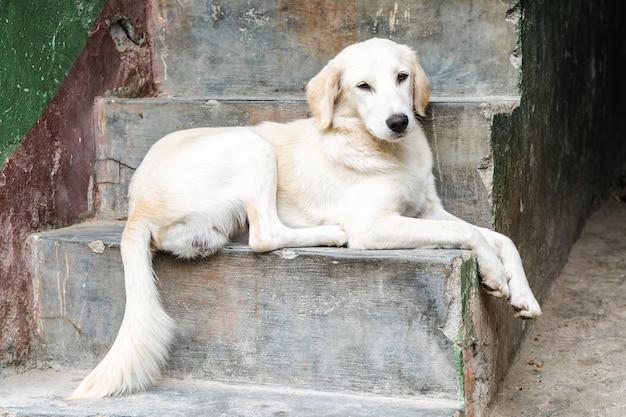 Un chien blanc domestique curieux est allongé sur les marches de la maison. ville de pokhara. népal.