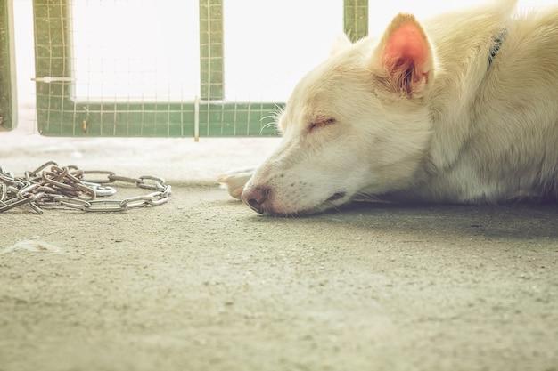 Un chien blanc dort avec une barrière de porte et une chaîne en arrière-plan.