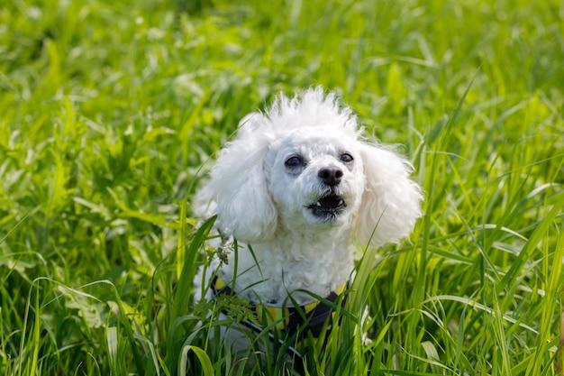 Un chien blanc élève un caniche dans l'herbe du parc. photo de haute qualité