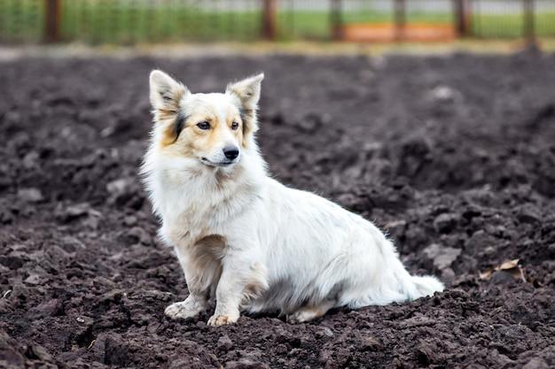 Le chien blanc est assis sur le sol labouré au milieu du champ