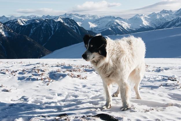 Chien blanc et noir sur une montagne enneigée